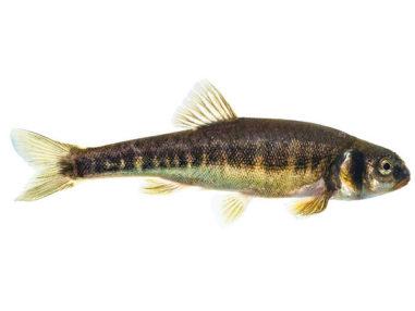 Elritzen, Zierfisch für Teich