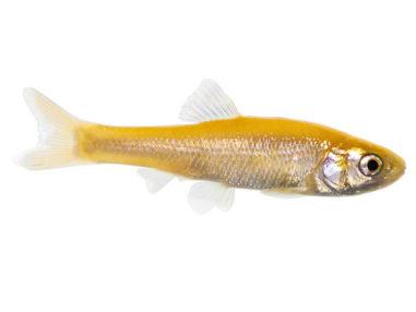 Goldelritze, Zierfisch für Teich