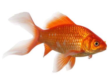 Goldfisch, Zierfisch für Teich