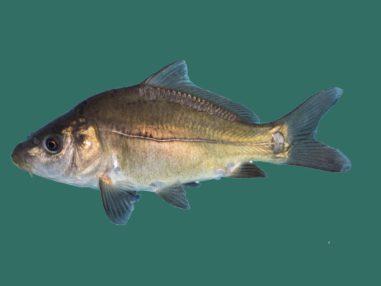 Spiegelkarpfen, Zierfisch für Teich