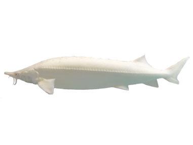 Sterlet, Albino Stör, Zierfisch für Teich