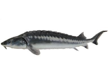 Waxdick Stör, Teichprofi, Teichfisch
