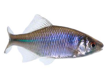 Bitterling, Biotopfisch, Teichfisch